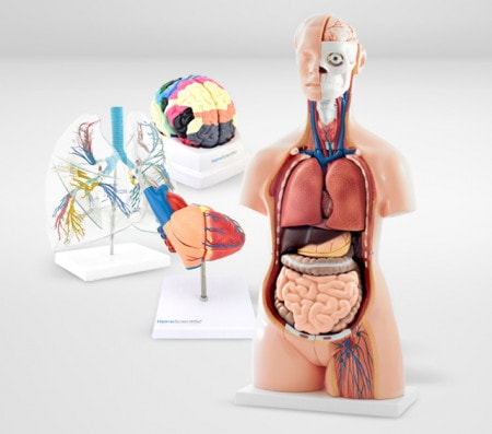 Organ Models & Anatomical Models of Structures and Diseases