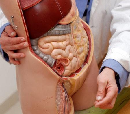 Organmodelle & anatomische Modelle von Strukturen & Erkrankungen
