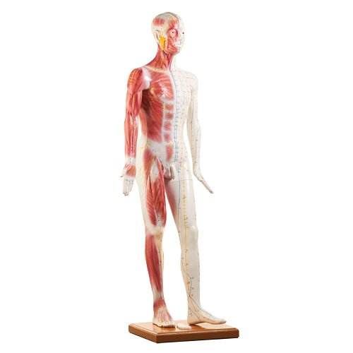 Life-size Acupuncture Model - Anatomical Models and Teaching Aids