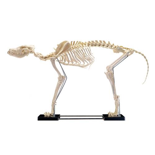 Esqueleto del perro, grande | Praxisdienst
