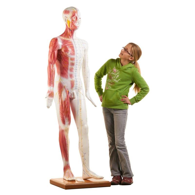 Modelo de acupuntura tamaño real