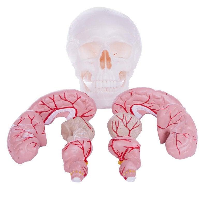 Schädelmodell mit Gehirn - in zehn Teile zerlegbar