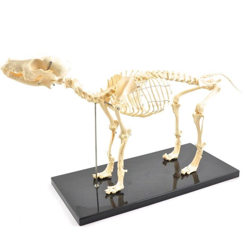 Szkielet psa, rozkładany