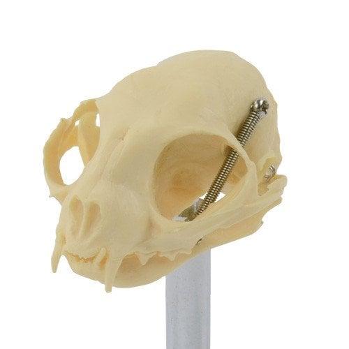 Katzenschädel von HeineScientific aus Kunststoff