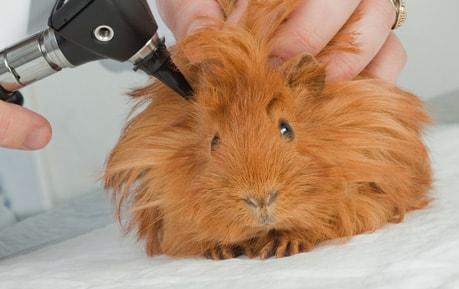 Otoskope für Tierärzte