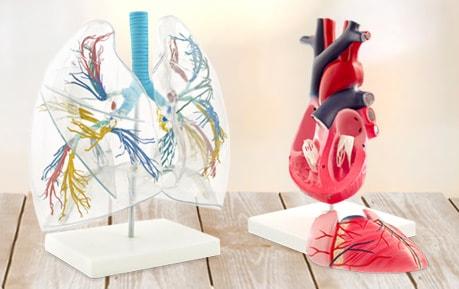 Modèles anatomiques et autres outils pédagogiques
