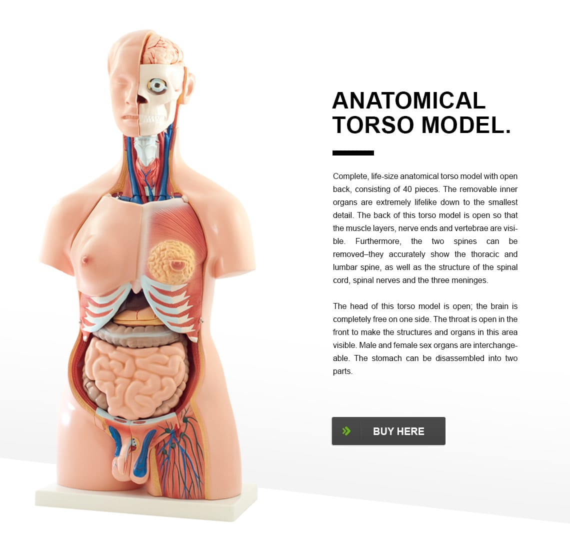 Anatomical Torso Model