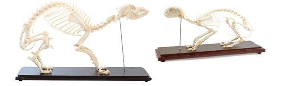 Modelli di scheletri animali