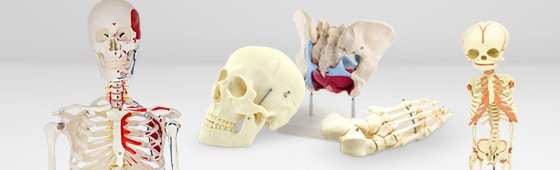 Menselijke skeletmodellen