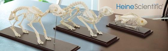 Skeletmodellen