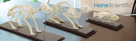 Veterinary Skeleton Models