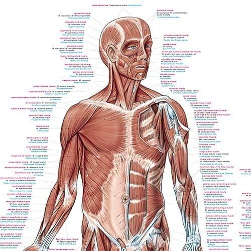 Lehrtafel der menschlichen Muskulatur 70 x 100 cm