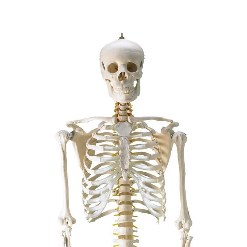 Menselijk skelet met natuurgetrouwe afmetingen