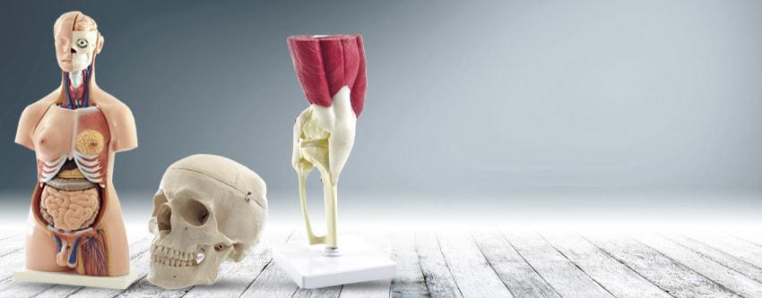 HeineScientific Anatomical Models