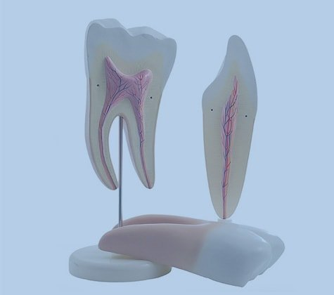 Anatomical Tooth Models