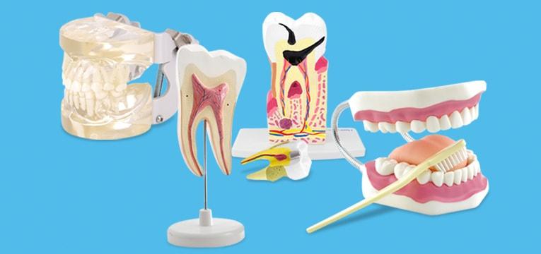 Modèles de dentition