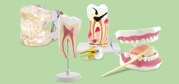 Modelli dentali HeineScientific