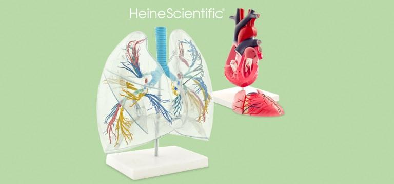 Modelli anatomici di organi e strutture