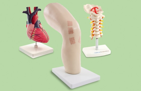 Anatomical Models and Teaching Aids