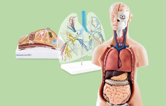 Modelli di organi e strutture