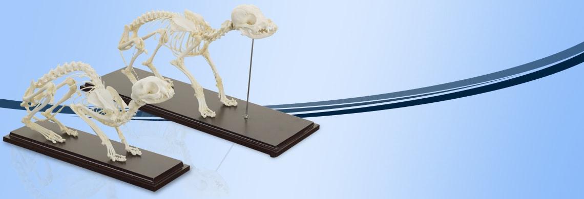 Animal Skeleton Specimens