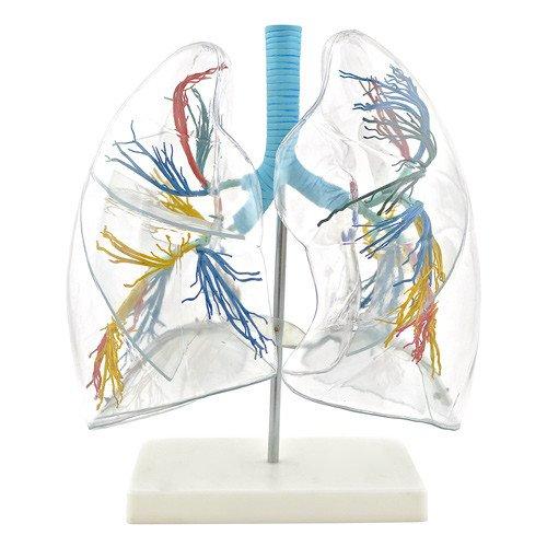 Modello trasparente di polmoni