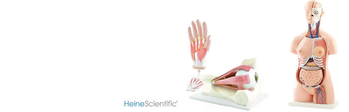 Anatomische modellen