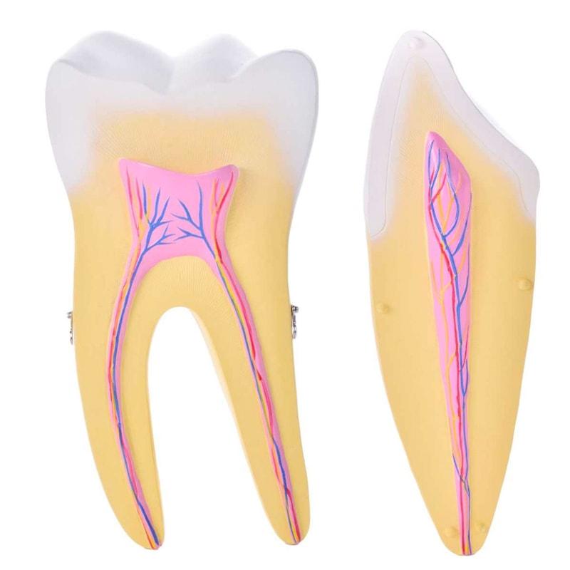 Modello dente singolo ingrandito