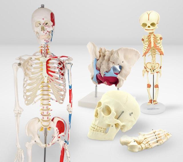 Formation des patients avec des squelettes anatomiques