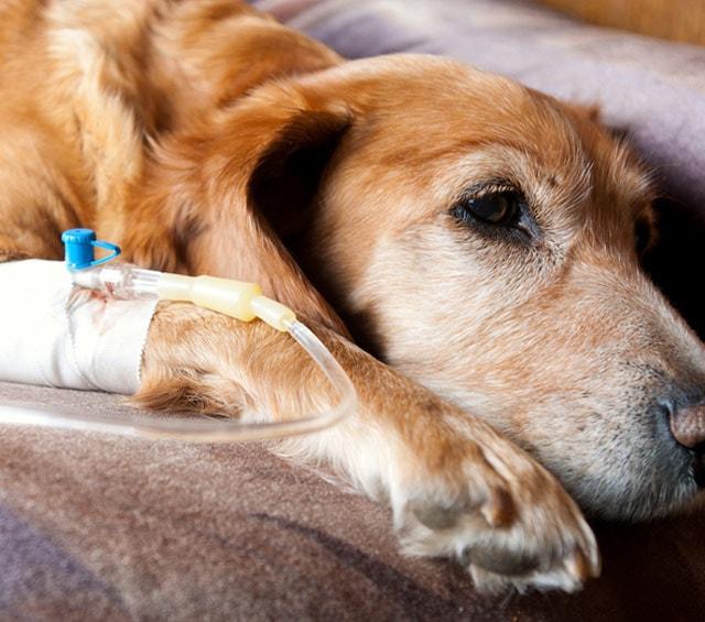 Injectie en infusie bij dieren
