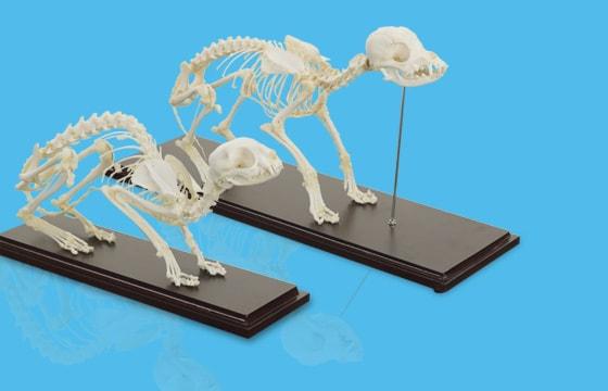 Dierlijke skeletmodellen