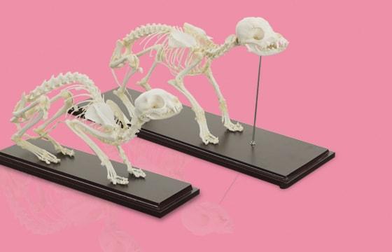 Echte skeletten van HeineScientific®