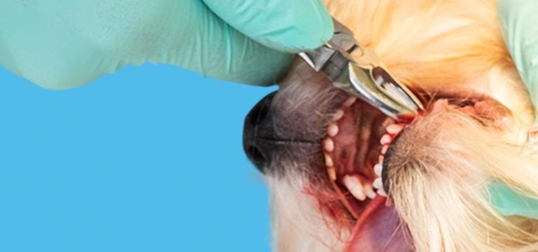 Kleszcze stomatologiczne