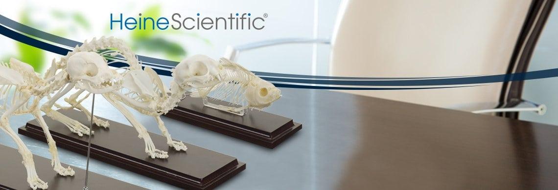 Véritables squelettes de HeineScientific®