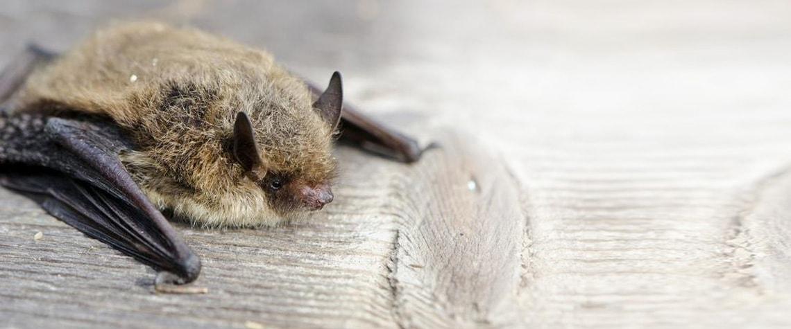 Verletzte oder geschwächte Fledermäuse